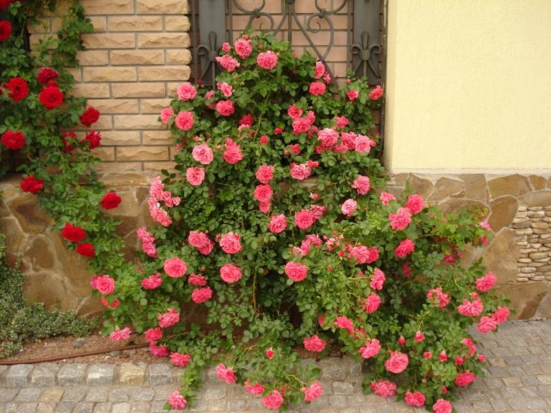 Роза патио уход в домашних условиях